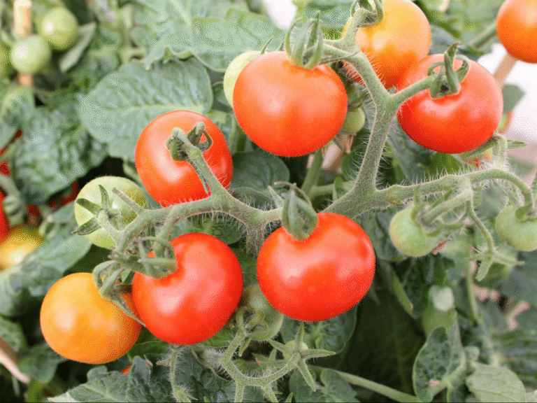 Tomato powered edge computing? Microbial fuel cells make it possible
